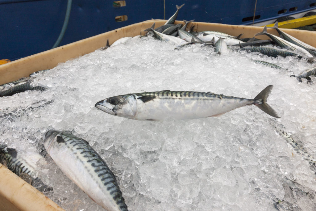 Mackerel on ice.